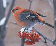 """""""It was our first heavy snowfall of the year when a flock of pine grosbeaks swarmed our mountain ash tree,"""" writes Patrick Welch of Valdez, Alaska. """"They loved eating the berries from the trees. Luckily, I had my camera handy to shoot some photos."""""""