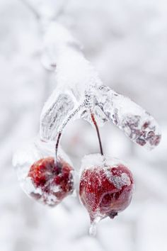 frozen cherries captured in the midst of snow What a conundrum !