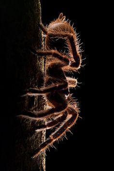 ˚Lurker of the Night - Tarantula