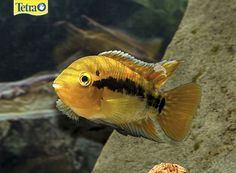 Red Rainbow Cichlid – The Red Rainbow Cichlid is said to be one of the smallest Central American cichlids, only reaching about 3 1/2 inches in aquariums. They are known for their rainbow coloring and do well in community tanks. These fish are easy to care for and breed, but do require very clean water and lots of hiding places.