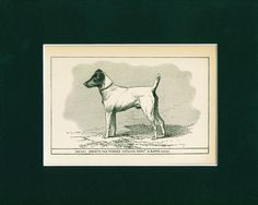 1900 Smooth Fox Terrier