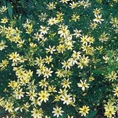 Coreopsis 'Moonbeam' has yellow flowers, but  they are so soft that they look well with almost all other plants. What? And it blooms on and off all season too?!