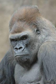 baf8defc275 Die 470 besten Bilder von Primaten Primates monkeys Bonobos ...