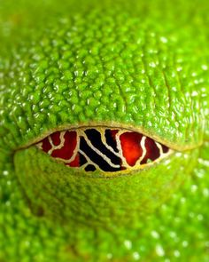 A red-eyed tree frog, by source on Tumblr.  Wicked cool.