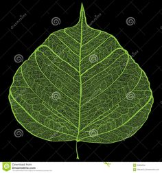 Green Leaf Skeleton - Download From Over 27 Million High Quality Stock Photos, Images, Vectors. Sign up for FREE today. Image: 23504534