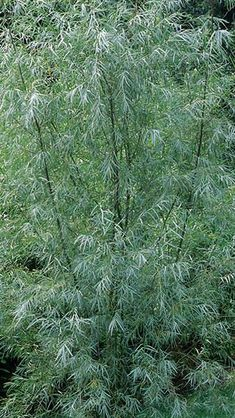 Salix Exigua or Coyote Willow, a beautiful large shrub or small tree. AGM - to Buy at Paramount Plants London garden centre. Garden Pool, Terrace Garden, Garden Kids, Party Garden, Garden Paths, Garden Wedding, Amazing Gardens, Beautiful Gardens, English Garden Design