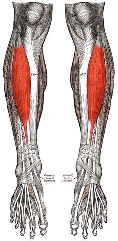 anterior tibialis