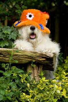 Every dog needs a good hat for those bad hair days...  :)    Old English Sheepdog