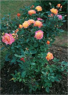 Beechwood Landscape Architecture and Construction: Rio Samba Rose, Deciduous Shrub Of The Day
