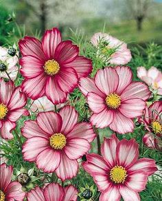 Candy Stripe Cosmos from Jim's Favorite Flower Garden Seeds @ Best Picture For Flowers decorations F Cosmos Flowers, My Flower, Pink Flowers, Beautiful Flowers, Birth Flowers, Summer Flowers, Simply Beautiful, Flower Pots, Easy To Grow Flowers