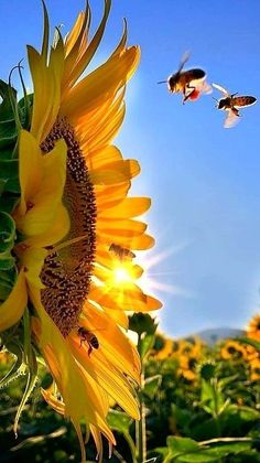 Dicovery – Best Garden Plants And Planting Sunflower Iphone Wallpaper, Flower Phone Wallpaper, Wallpaper Backgrounds, Sunflower Photography, Nature Photography, Sunflowers And Daisies, Sun Flowers, Sunflower Pictures, Sunflower Garden
