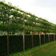 U bent op zoek naar een Liquidambar styraciflua 'Worplesdon' voorgeleid (lei-Liquidambar/amberboom leivorm)? Tuincentrum Maréchal! ✔ Eigen kwekerij ✔ LAGE prijzen ✔ Uitgebreide planteninformatie