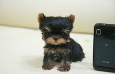 My dream dog! Mini Yorkie, Mini Puppies, Teacup Yorkie, Cute Puppies, Yorkie Puppies For Adoption, Yorkie Puppy, Yorkies, Puppys, Tea Cup