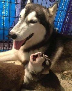 Husky & baby husky