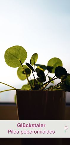welche zimmerpflanzen brauchen wenig licht garten balkon pinterest dunkle r ume. Black Bedroom Furniture Sets. Home Design Ideas