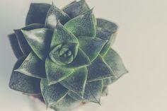 Green Succulent Plant  Free Stock Photo