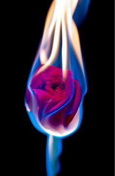 Flaming Rose--Trick photography but so gorgeous