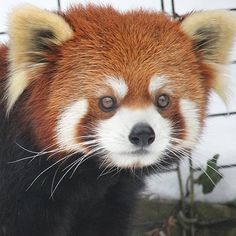 The Binghamton Zoo would like to welcome Jiang, our newest red panda resident! He comes from the Roger Williams Park Zoo in Providence, RI. The pairing of Mei-Li and Jiang is considered very genetically valuable, especially since Jiang has not produced any offspring in his lifetime. The breeding season for red pandas is January through March, and we're hoping this pair is successful.