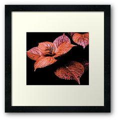 'Maple Blush' Framed Print by Moonshine Paradise #redbubble #nature #photography #art #decor