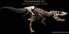 Holotype CM 9380 - Your Complete Guide to Tyrannosaurus rex!