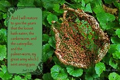 And I will restore to you the years that the locust hath eaten, the cankerworm, and the caterpiller, and the palmerworm, my great army which I sent among you. -Joel 2:25 (KJV)