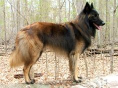 A Belgian Tervuren is a serious and watchful breed with a substantial protective and territorial instinct. The breed excels as a law enforcement officials dog, search and rescue doggy and natural guardian.