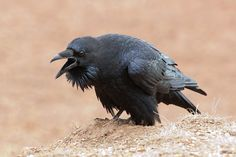Raven vocalizing in the Marin Headlands. I've always liked them ...