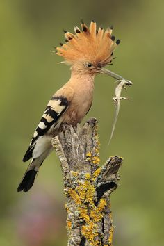 The Hoopoe /ˈhuːpuː/ (Upupa epops) is a colourful bird that is found across Afro-Eurasia, notable for its distinctive 'crown' of feathers. It is the only extant species in the family Upupidae. One insular species, the Saint Helena Hoopoe, is extinct, and the Madagascar subspecies of the Hoopoe is sometimes elevated to a full species. Like the Latin name upupa, the English name is an onomatopoetic form which imitates the cry of the bird.
