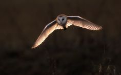 Barn Owl Head on at Sunset, photography by Simon Wantling.