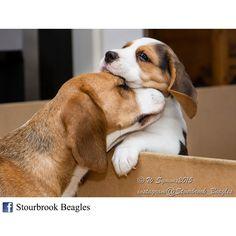A cuddle from mummy Beagle - cute puppy