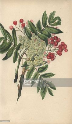Image result for rowan tree botanical drawings