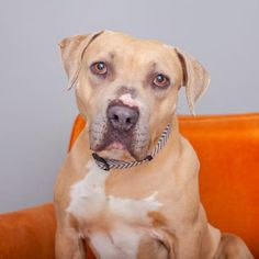 Meet Butterscotch, an adoptable Pit Bull Terrier looking for a forever home. If you're looking for a new pet to adopt or want information on how to get involved with adoptable pets, Petfinder.com is a great resource.