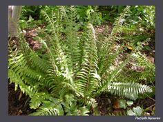 Christmas Fern - Polystichum acrostichoides, evergreen, on either side of walkway by front door