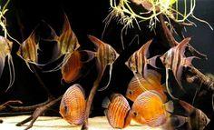 Wild Discus & Altum   Fish   Pinterest   Discus