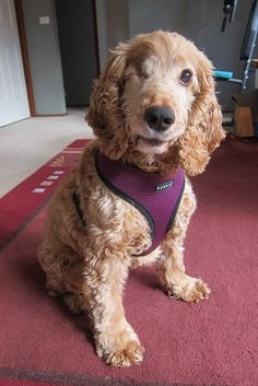 Lucy - an 8 year old english cocker spaniel dog that has lost one eye due to glaucoma and is blind in the other eye.