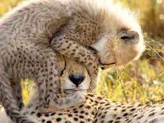 Can We Save the Cheetah From Extinction? Read More: http://www.rd.com/slideshows/save-cheetah-extinction/