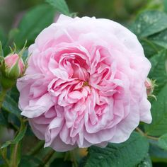 Shrub:  Alba Rose-Old Rose 'Queen of Denmark',  Large, beautifully formed, quartered flowers of soft glowing pink. VERY STRONG OLD ROSE SCENT.