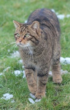Scottish Wildcat, Felis silvestris grampia by Lily Mendes da Costa on Cute Cats And Kittens, Big Cats, Cool Cats, Animals And Pets, Cute Animals, Small Wild Cats, Cat Reference, Kinds Of Cats, Feral Cats