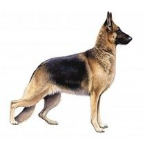 German Shepherd _German shepherd, breed of working dog developed in Germany from traditional herding and farm dogs. Until the 1970s the breed was known as the Alsatian in the United Kingdom. A strongly built, relatively long-bodied dog, the German shepherd stands 22 to 26 inches (56 to 66 cm) and weighs 75 to 95 pounds (34 to 43 kg).