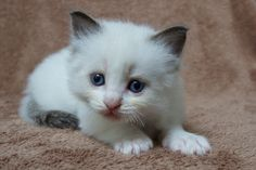2014: Fillmore A Zwollywood Cat. 5 Weeks old Ragdoll kitten, seal bicolour. Cars litter.