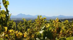 Looking through the Castle Rock Estate vines towards the Stirling Ranges