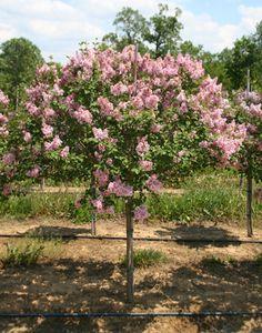 die besten 25 dwarf lilac tree ideen auf pinterest fliederbaum landschaftsbaub ume und. Black Bedroom Furniture Sets. Home Design Ideas