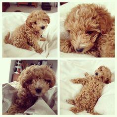 Poochon aka Bichon Poodle Puppy oh my ) I want one