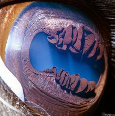 "This is a close up of a llama eye.  The strange ""ruffles"" are called 'iridic granules' (corpora nigra) and they are used to to shade the eye from bright sunlight. In bright light these iridic granules can actually interlock to completely cover the centre of the pupil. This leaves just two holes open on either end of the pupil, reducing the amount of light that can enter the eye.  These odd looking structures are also found in horses, cattle and sheep."