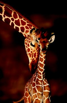 Adult Giraffe with calf (Giraffa camelopardalis). Mother and child. Animals->Giraffe Size: x Gender: unisex. Material: Value Poster Paper (Glossy). Safari Animals, Cute Baby Animals, Nature Animals, Animals And Pets, Beautiful Creatures, Animals Beautiful, Photo Animaliere, Okapi, Tier Fotos