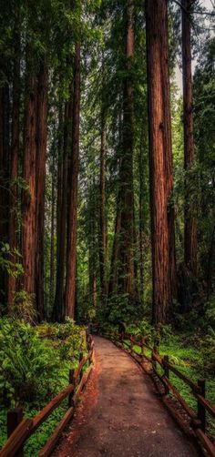 Redwood Path, Muir Woods, California