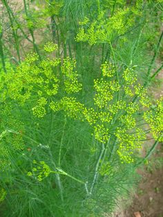 The dill sure grows tall. I bet it was at least 4 1/2 feet when I shot this photo.  —Rod Boyce, managing editor