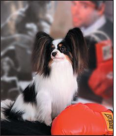 Blazen Papillons - Texas Breeder of Champion Papillons - AKC Breeder of Merit