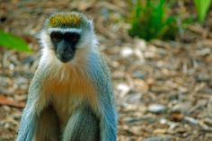 Vervet Monkey - Werribee Park Open Range Zoo