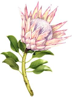 King Protea in king protea drawing collection - ClipartXtras Protea Art, Victorian Flowers, Vintage Flowers, Watercolor Projects, Watercolor Paintings, Watercolour, Botanical Drawings, Botanical Prints, Vintage Diy